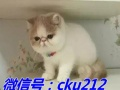 出售加菲、英短、金吉拉等各类宠物猫猫ycsa