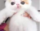 巧克力名猫 CFA高品质异国短毛猫加菲猫波斯猫2