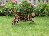 本地貓舍純種孟加拉豹 貓帶證疫苗三包送貨上門