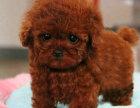 出售玩具泰迪幼犬灰色泰迪幼犬长相甜美黏人
