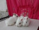 常年批发垂耳猫猫侏儒宠物小兔