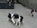 基地繁殖出售英国缉毒犬 警用猎犬 史宾格宝宝