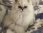长春哪里有双血统证书 自家精心侍养,无病 极好品相金吉拉幼猫