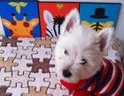 萌宠--名犬西高地幼犬宝宝质量保证健康 血统纯正可刷卡
