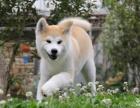 乌鲁木齐哪里有卖秋田犬,纯种健康包养活的哪里有