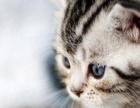 自家繁殖出售蓝猫 英短 美短 加菲 暹罗 金吉拉猫