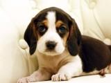 聪明的比格幼犬 纯种幼犬包建康的米格鲁犬 公母均有
