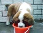 珠海哪有圣伯纳犬卖 珠海圣伯纳犬价格 珠海圣伯纳犬多少钱