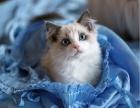 精品家庭繁育式布偶猫舍出售靠谱纯种布偶猫猫加菲1