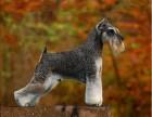 上海最大纯种雪纳瑞犬舍 首先上海西贝犬舍 专业养狗20年资质