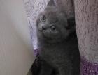出售英短折耳幼猫