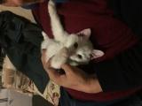 波斯猫白色短毛鸳鸯眼