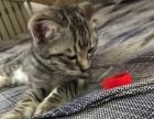 自家猫生的美短幼猫,低价1600