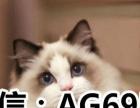 布偶猫幼猫活体纯种双色海豹色布偶猫蓝眼布偶猫仙女