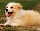 长沙狗狗之家长期出售高品质 边牧 售后无忧