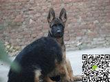 出售纯种牧羊犬幼犬 哪里卖健康牧羊犬多少钱 牧羊犬价格