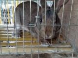 小野兔多少钱一只 三个月野兔苗价格 重庆市哪里有卖野兔的