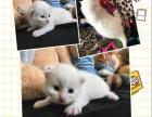 可爱的黄色长毛波斯猫