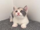 英短猫喜欢的咨询