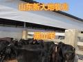出售鲁西黄牛 西门塔尔牛 利木赞牛 肉牛苗 羊苗