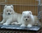 出售纯种萨摩耶微笑天使萨摩耶幼犬澳版熊版萨摩耶