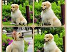 正规犬舍出售健康纯种大头金毛--幼犬多只可选