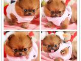 广州本地出售世界各类名犬 支持上门看狗加微信有折扣