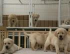 Labrador retriver-