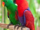 折衷鹦鹉,亲鸟孵化,人工手养,亲人