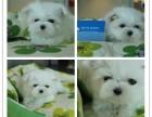 全年 一至今最畅销 马尔济斯幼犬 好品质 有保障
