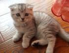 银渐层,折耳猫,英国短毛猫
