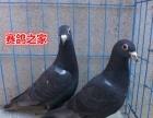 信鸽 种鸽 血统成绩鸽出售