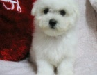 大眼睛甜美脸型小体大毛量纽扣眼棉花糖比熊幼犬