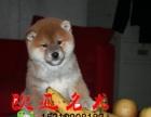 凉山柴犬价格 柴犬多少钱一只 柴犬图片 海南哪有出售柴犬
