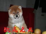 绵阳柴犬价格 柴犬多少钱一只 柴犬图片 海南哪有出售柴犬