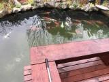 杭州地区优质锦鲤鱼养殖
