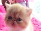 加菲猫 纯种 赛级品质 红白弟弟