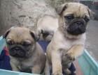 南京出售纯种巴哥犬丶三包健康纯种保存活丶全国发货