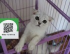 济南哪里有宠物猫出售,济南哪里有卖纯种折耳猫价格