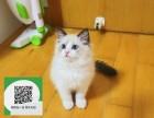 南阳哪里开猫舍卖布偶猫 去哪里可以买得到纯种布偶猫