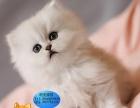 专业饲养 超萌纯种金吉拉幼猫,大眼睛,绿眼珠