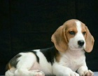 适合家庭饲养比格犬多少钱 要纯一点的
