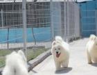 中山哪里有萨摩耶买 小榄边度有正规狗场 纯白色的宠物狗品种
