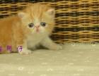 【幸福猫苑】萌萌哒,小巧,甜美,可爱的加菲喵