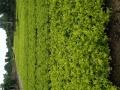 花卉绿化苗木批发,