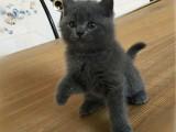 湖南长沙双血统英短蓝猫卖出价格