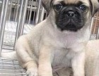 北京国泰宠物狗场出售巴哥犬多少钱2500元到10000元