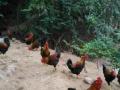 专业天然无公害纯野生盐焗鸡鸭制作莆田市均可免费配送