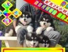 实物拍摄——三证齐全——疫苗做齐保健康—阿拉斯加犬