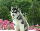 三火蓝眼哈士奇幼犬出售黑白灰白色二哈宠物狗活体